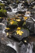 autumn maple leaves on the smooth rocks at starvation creek falls in the colu - stock photo