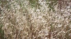 Avena fatua, wild oat Stock Footage