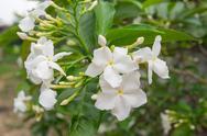 Ervatamia flower Stock Photos
