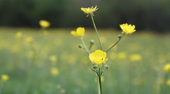 Close-up of buttercup wildflower Stock Footage
