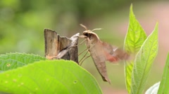Moth Butterfly Warming Wings And Starting To Fly Stock Footage