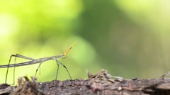 Grasshopper who looks like Stick insect walking on branch Stock Footage
