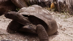 Aldabra Giant Tortoise at La Digue // Seychelles HQ Stock Footage