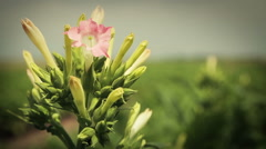 Tobacco Plant Flower Stock Footage