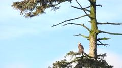 American Bald Eagle, roosting and watching Stock Footage