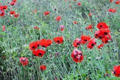 Poppy or poppies world war one in belgium flanders fields Stock Photos