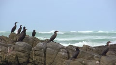 Sea birds fly off rocks.Slow motion - stock footage