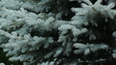Branches of blue spruce tree. Stock Footage
