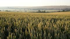 Wheat field, vehicle shot Stock Footage