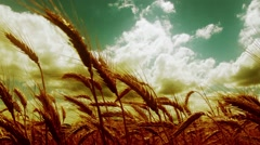 Summer Lush Wheat Field 38 wide low angle stylized Stock Footage