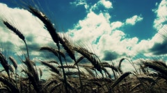 Summer Lush Wheat Field 39 wide low angle stylized Stock Footage