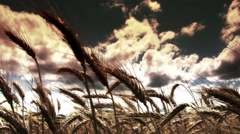 Summer Lush Wheat Field 40 wide low angle stylized Stock Footage