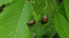 Japanese Beetles (Popillia japonica) 1 Stock Footage