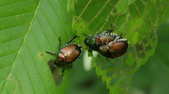 Japanese Beetles (Popillia japonica) 2 Stock Footage