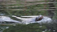 Patagonian, sea lion. South american sea lion 1 Stock Footage