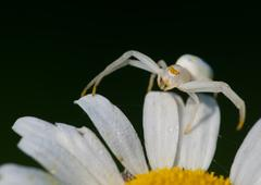crab spider - stock photo