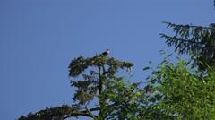 American Bald Eagle spruce tree watch Stock Footage