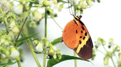Large heliconid butterfly sucking nectar from tropical flowers Stock Footage