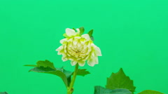 Dahlia on a green background - stock footage