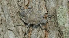 Four-humped Stink Bug (Brochymena quadripustulata) 2 Stock Footage