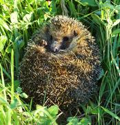 hedgehog curled in the grass - stock photo