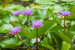 water lily and leaf - stock photo