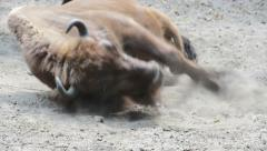 European bison (Bison bonasus), wisent bathing in the sand. Aurochs Stock Footage