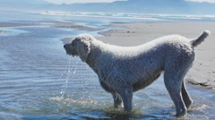Dog Shaking Off Water Stock Footage