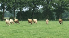 Jersey dairy cattle graze and move in pasture full of white clovers - wide shot Stock Footage