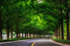 road lined with metasequoia - stock photo