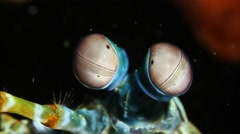 Peacock Mantis Shrimp Eyes Close-up Stock Footage