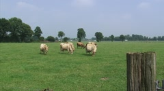 Jersey cattle in pasture, Dutch countryside. Highway in background. Stock Footage
