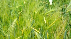 Fresh Wheat Grass Stock Footage