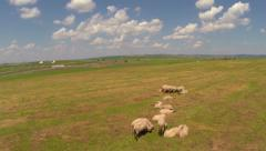 Aerial shot over sheeps on pasture - stock footage