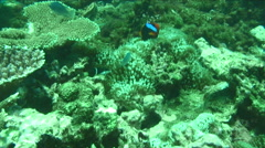 Clown fish in amoungst coral - stock footage