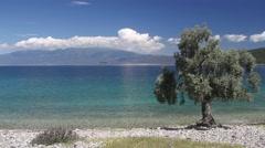 Alone olive tree on the coast - stock footage