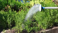 Watering carrots Stock Footage