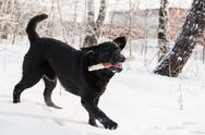 Stock Photo of Ritriever Labrador