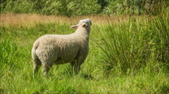 Sheep grazing in green grass on a sunny day HD Stock Footage
