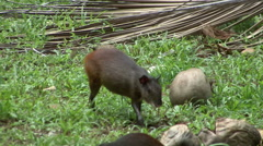 Agouti rodent on Devils Island Stock Footage