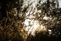 spikelets of wild grass evening sun - stock photo
