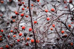 Bush with berries of wild rose in the ice. Stock Photos