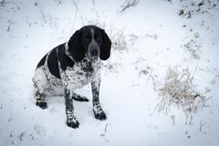 spotted dog sitting in the snow hound. - stock photo