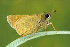 Large Skipper, Ochlodes sylvanus, sitting on a blade of grass - stock photo