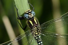 Hairy dragonfly, Brachytron pratense, close-up - stock photo