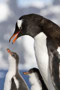 Gentoo penguin female is going to feed the chicks Stock Photos