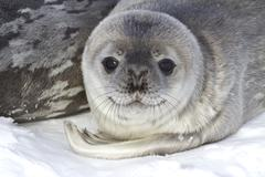 Little pup weddell seals which lies near the female Stock Photos