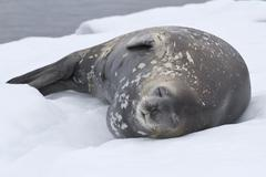 Adult weddell seal which lies in the snow antarctic islands Stock Photos