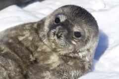 Recently born pup weddell seals which lies on her back Stock Photos