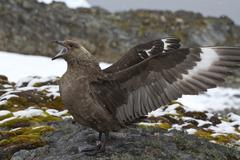 South polar skua near the nest during the breeding season Stock Photos